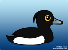 Tufted Duck clipart #1, Download drawings