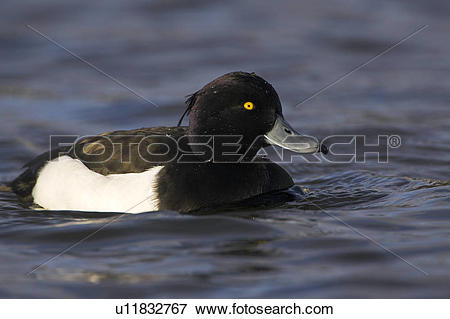 Tufted Duck clipart #3, Download drawings