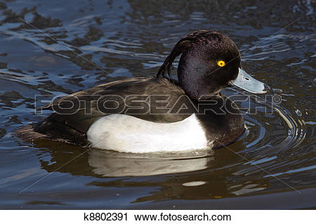 Tufted Duck clipart #18, Download drawings