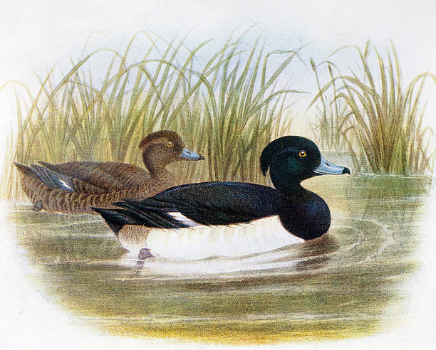 Tufted Duck clipart #15, Download drawings