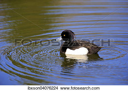 Tufted Duck clipart #10, Download drawings