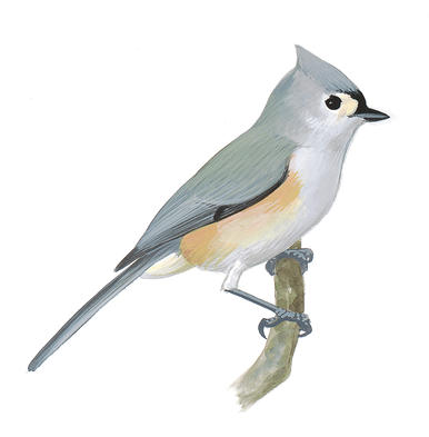 Tufted Titmouse clipart #18, Download drawings