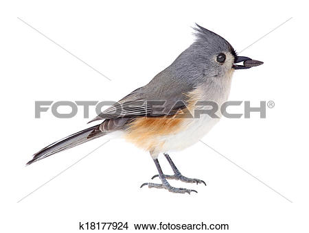 Tufted Titmouse clipart #3, Download drawings