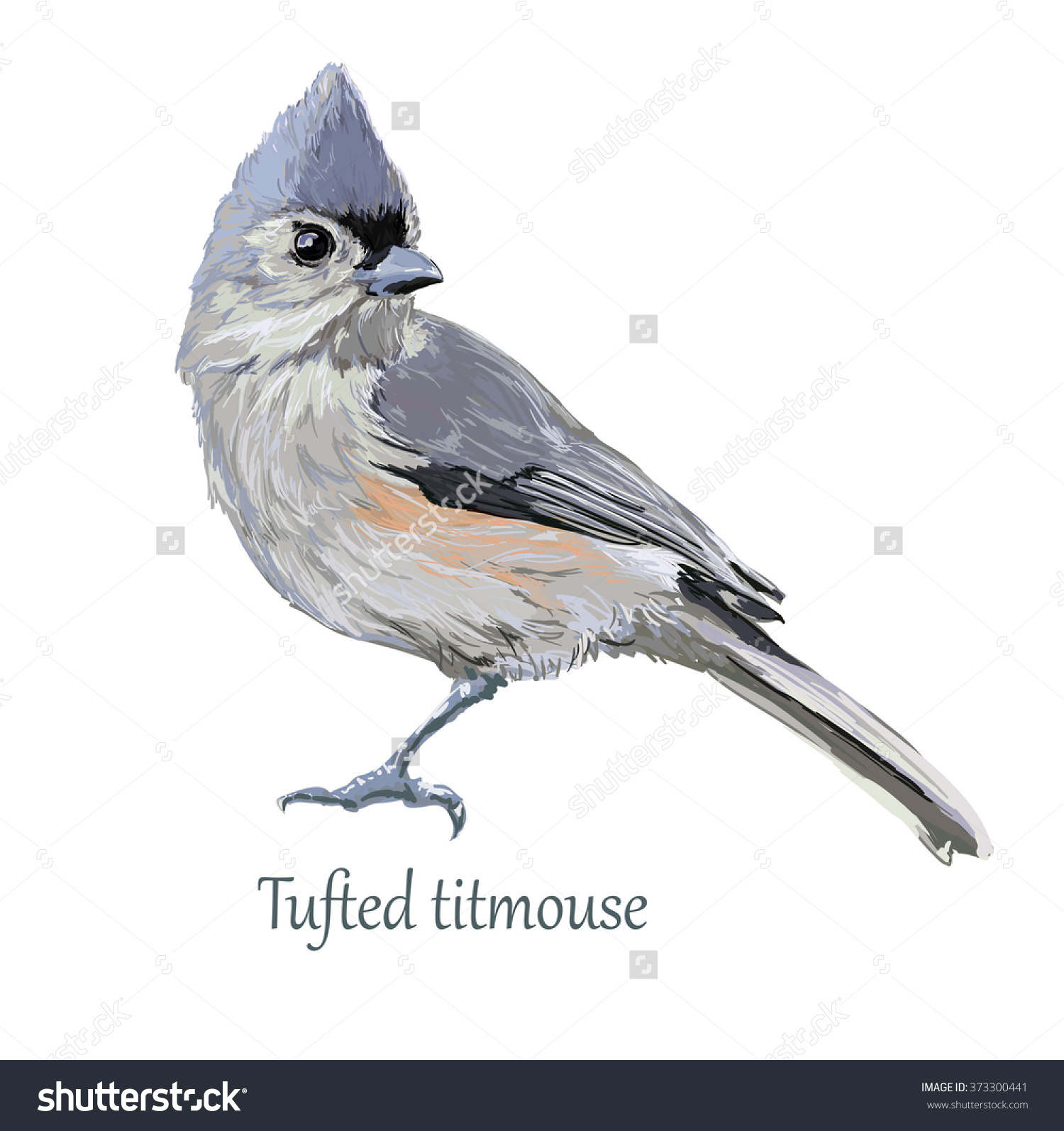 Tufted Titmouse clipart #1, Download drawings