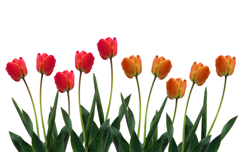 Tulip clipart #5, Download drawings