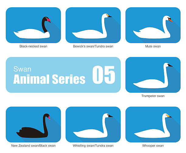 Tundra Swan clipart #12, Download drawings
