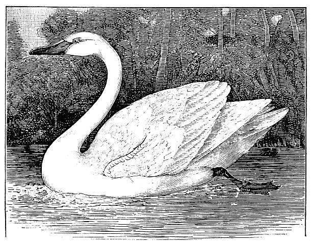 Tundra Swan clipart #13, Download drawings