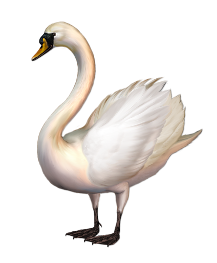 Tundra Swan clipart #1, Download drawings