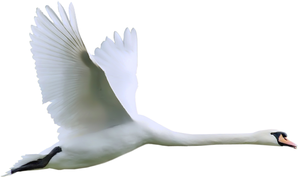 Tundra Swan clipart #2, Download drawings