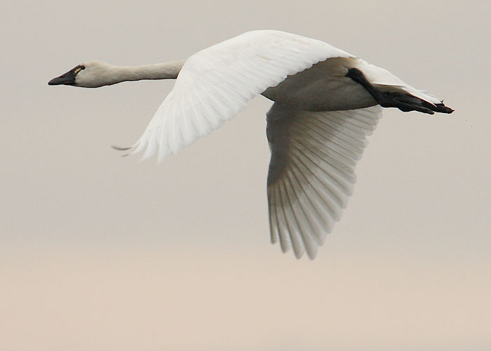 Tundra Swan clipart #4, Download drawings