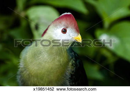 Turaco clipart #8, Download drawings