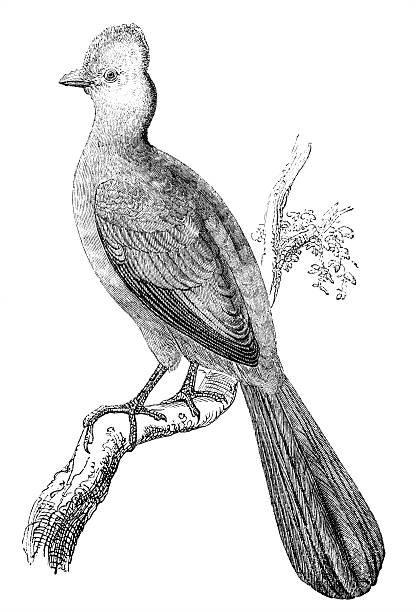 Turaco clipart #7, Download drawings