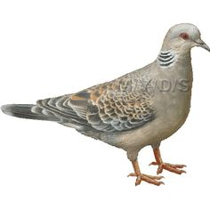 Turtle Dove clipart #12, Download drawings