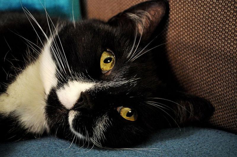 Tuxedo Cat coloring #12, Download drawings
