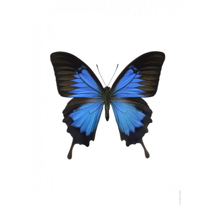 Ulysses Butterfly clipart #3, Download drawings