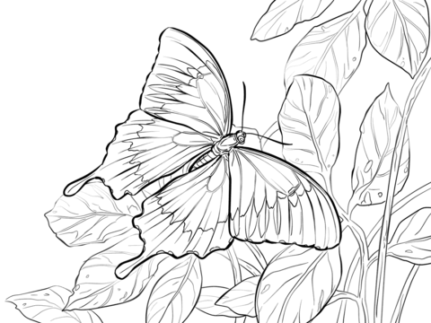 Ulysses Butterfly coloring #8, Download drawings