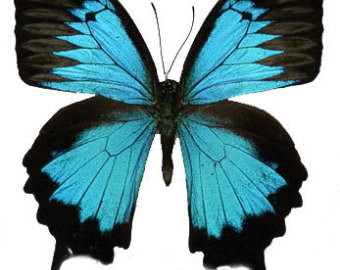 Ulysses Butterfly svg #9, Download drawings