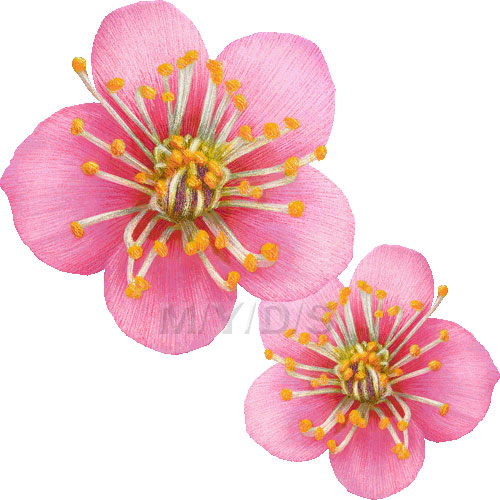 Ume Blossom clipart #4, Download drawings
