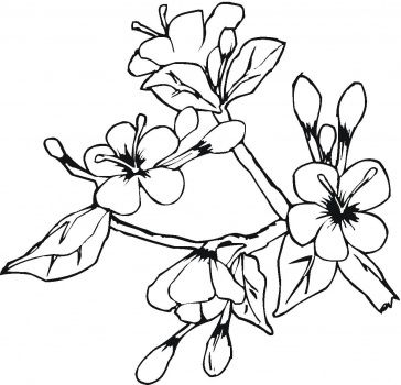 Ume Blossom coloring #1, Download drawings