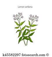 Verbena clipart #13, Download drawings