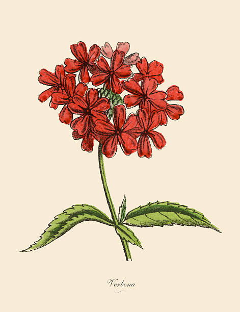Verbena clipart #8, Download drawings
