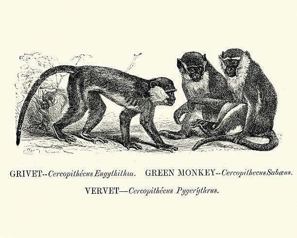 Vervet clipart #9, Download drawings