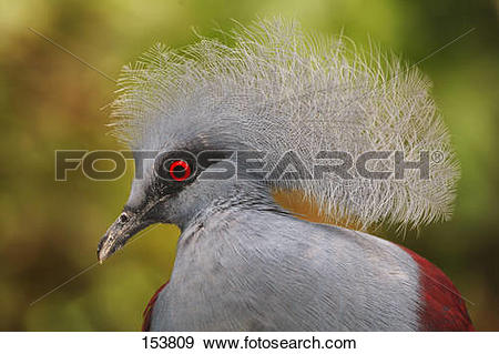 Victoria Crowned Pigeon clipart #12, Download drawings