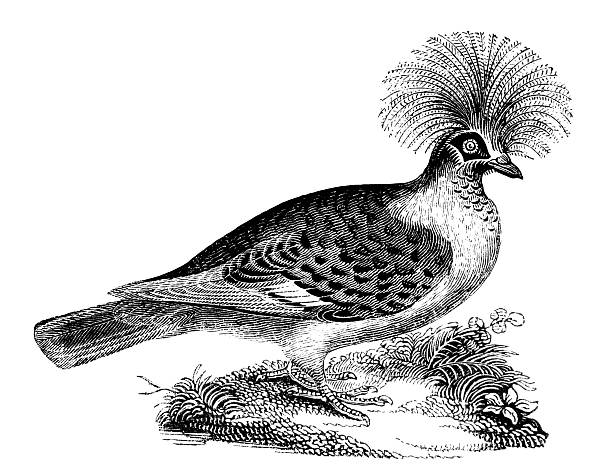 Victoria Crowned Pigeon clipart #1, Download drawings