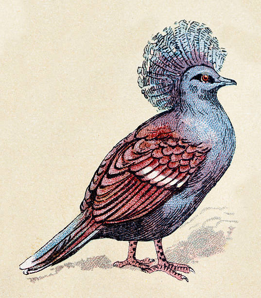 Victoria Crowned Pigeon clipart #14, Download drawings