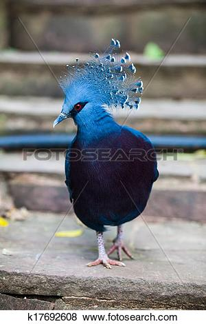Victoria Crowned Pigeon clipart #3, Download drawings