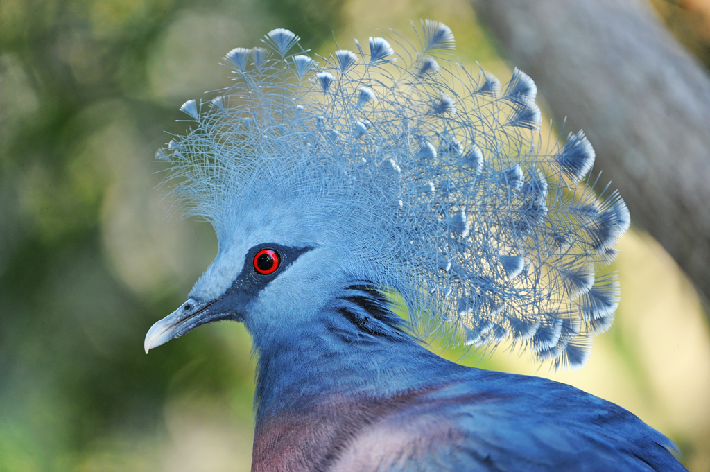 Victoria Crowned Pigeon clipart #4, Download drawings