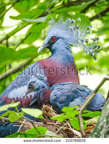 Victoria Crowned Pigeon coloring #13, Download drawings