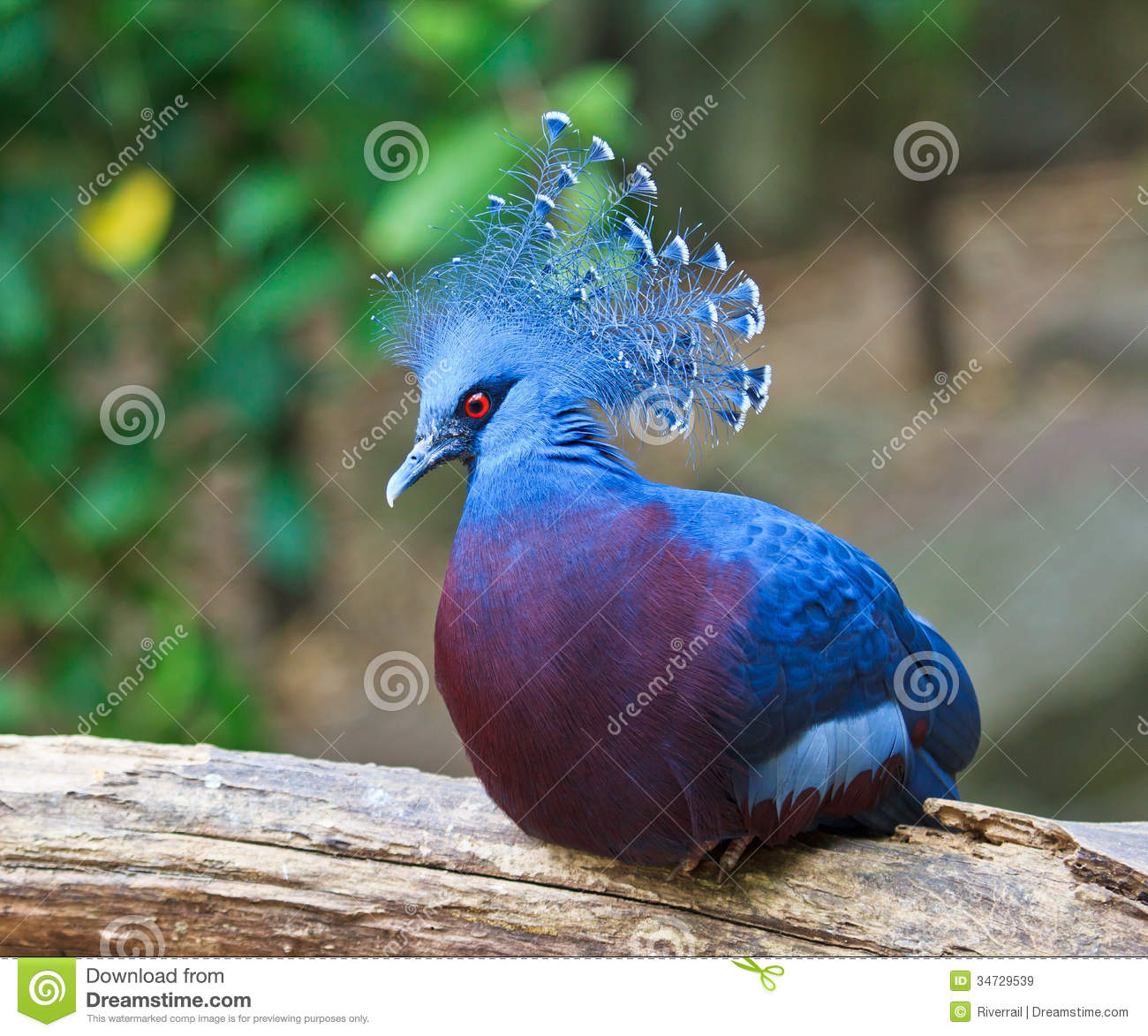 Victoria Crowned Pigeon clipart #13, Download drawings