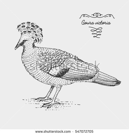 Victoria Crowned Pigeon coloring #19, Download drawings