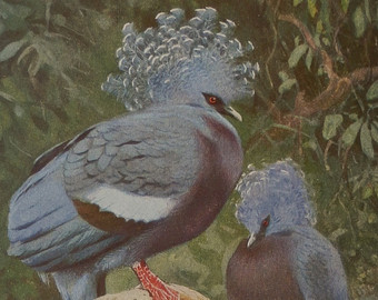 Victoria Crowned Pigeon coloring #17, Download drawings