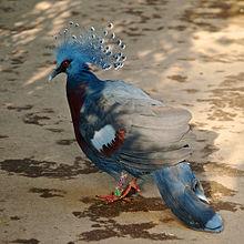 Victoria Crowned Pigeon coloring #14, Download drawings