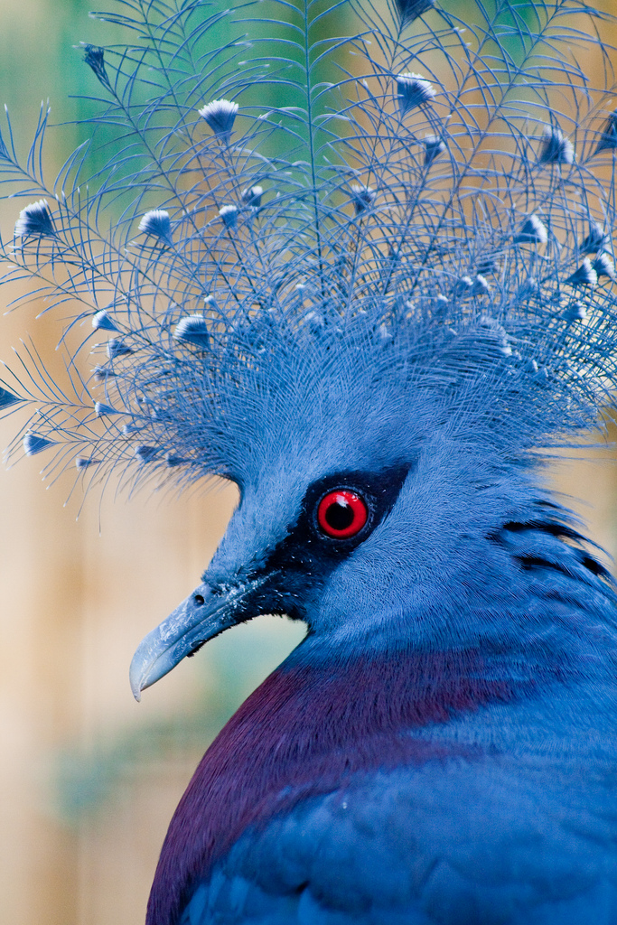 Victoria Crowned Pigeon coloring #12, Download drawings