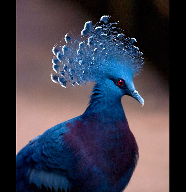 Victoria Crowned Pigeon coloring #9, Download drawings