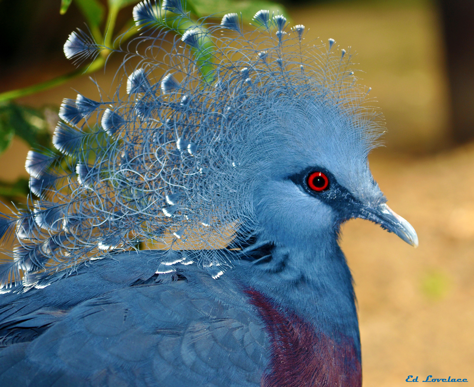 Victoria Crowned Pigeon coloring #4, Download drawings