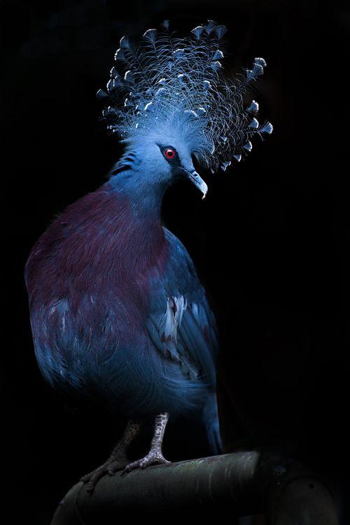 Victoria Crowned Pigeon svg #2, Download drawings