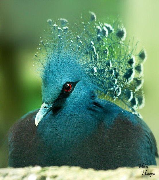 Victoria Crowned Pigeon svg #9, Download drawings