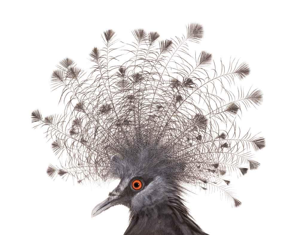 Victoria Crowned Pigeon svg #4, Download drawings