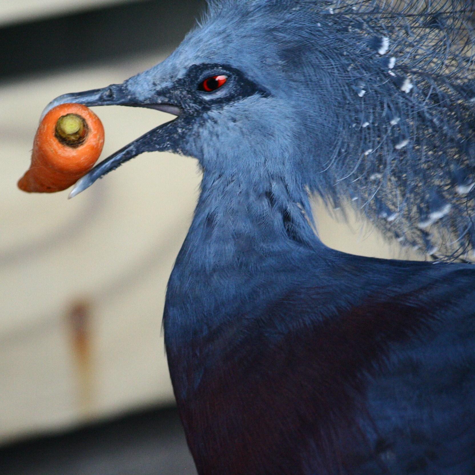 Victoria Crowned Pigeon svg #18, Download drawings