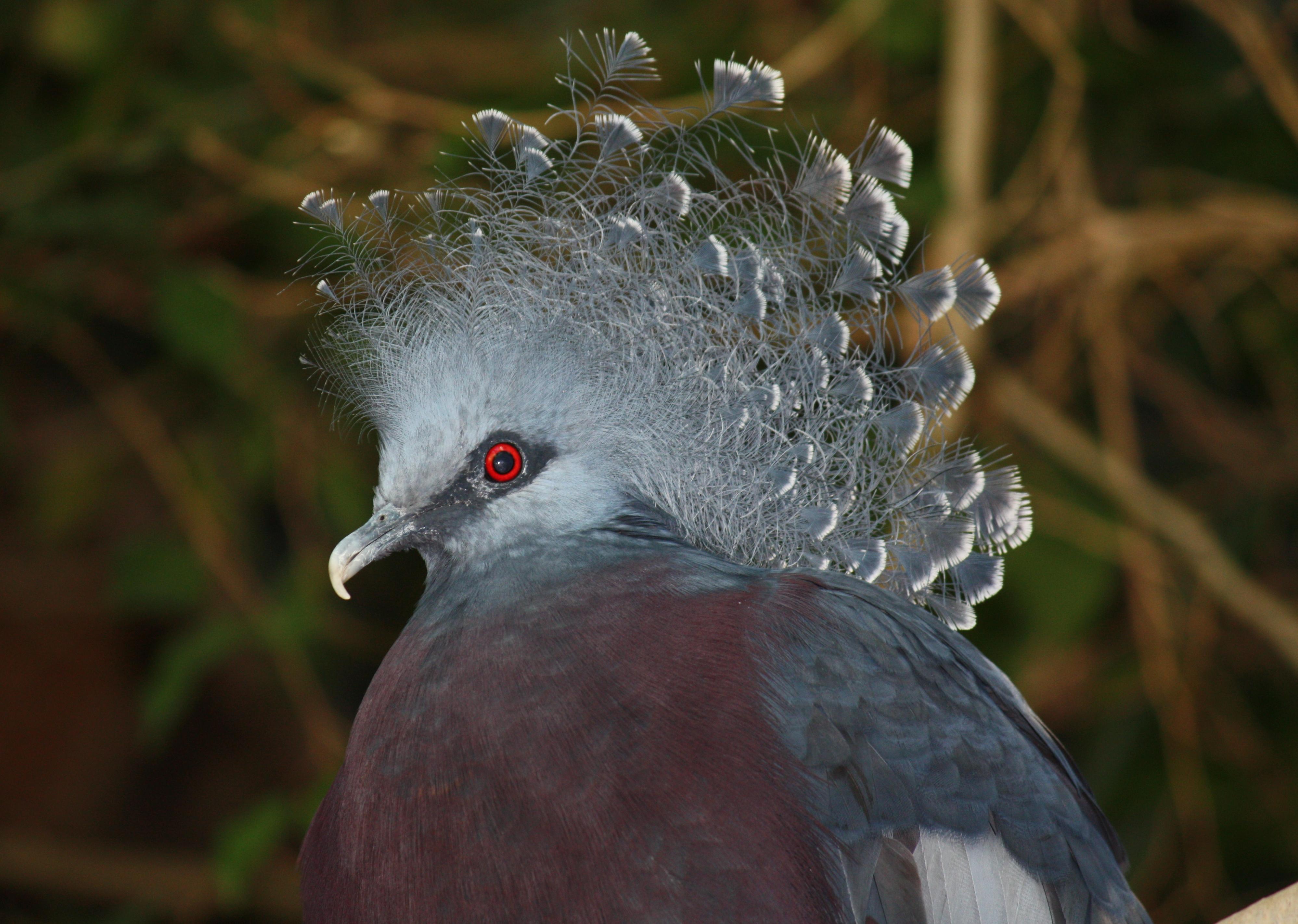 Victoria Crowned Pigeon svg #13, Download drawings