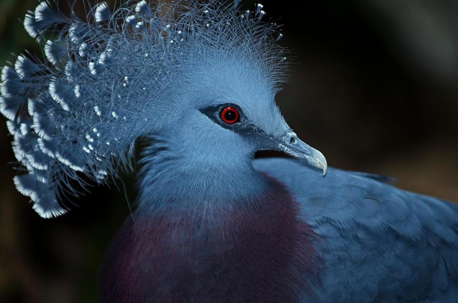 Victoria Crowned Pigeon svg #19, Download drawings