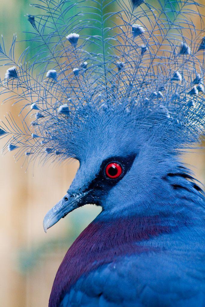 Victoria Crowned Pigeon svg #15, Download drawings