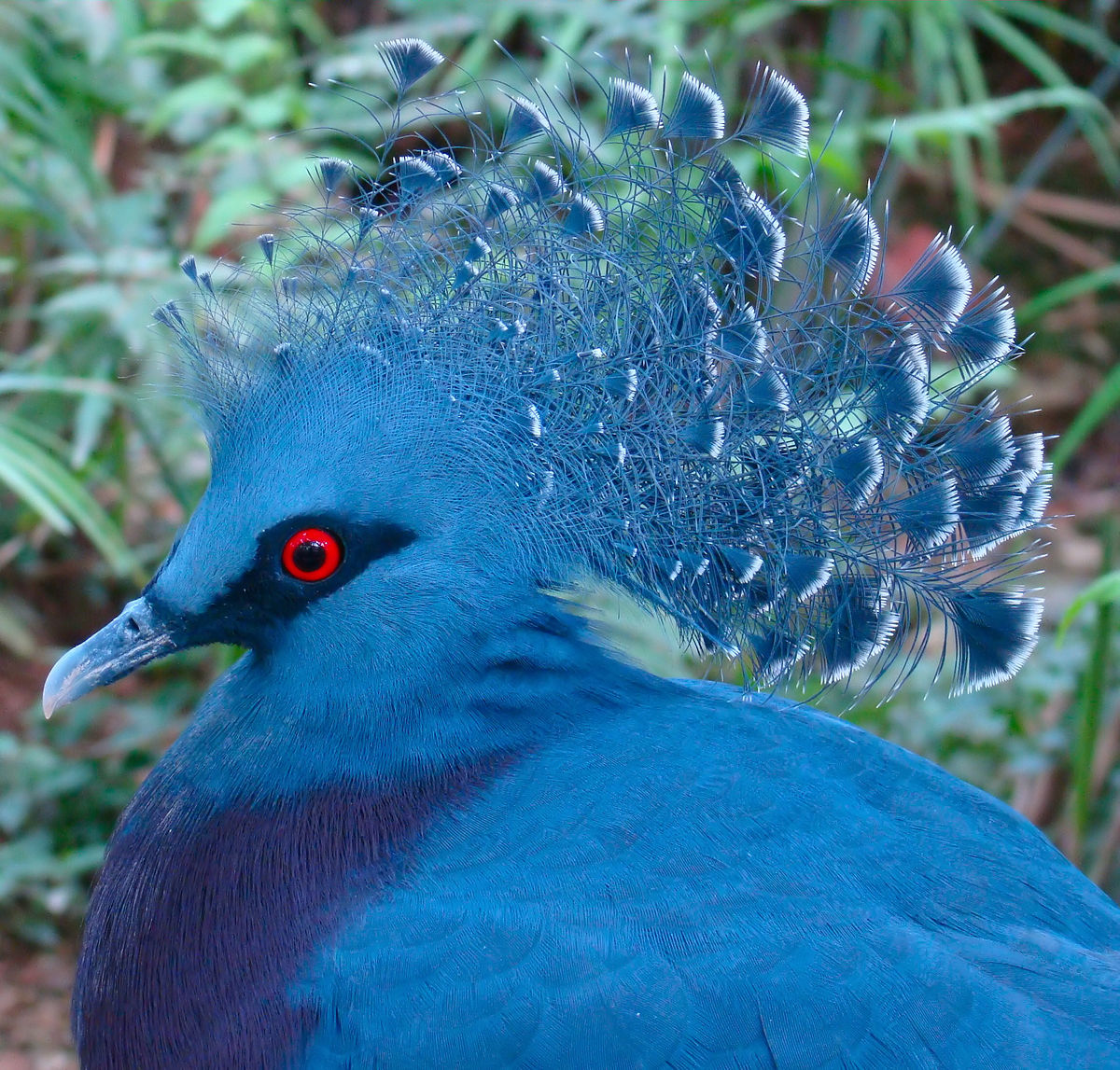 Victoria Crowned Pigeon svg #16, Download drawings