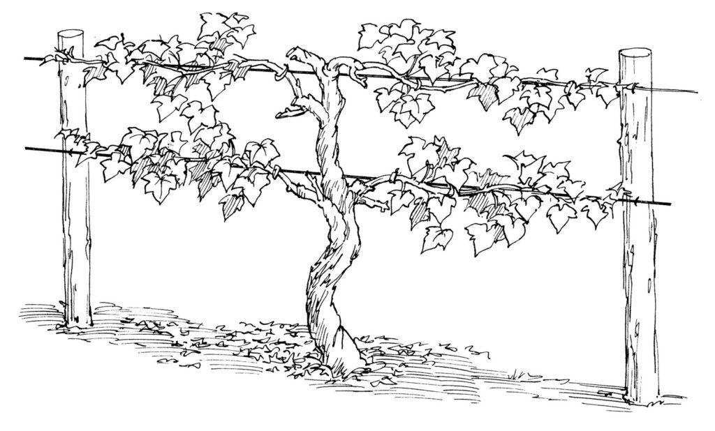Vine coloring #17, Download drawings