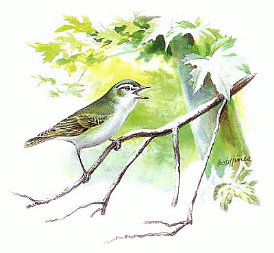 Vireo clipart #2, Download drawings