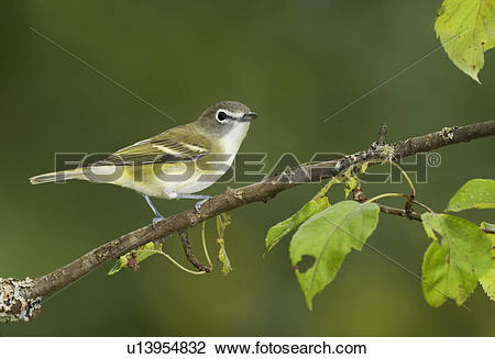 Vireo clipart #9, Download drawings